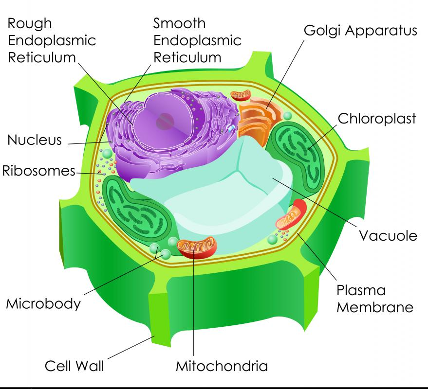 A plant cell diagram showing a chloroplast.
