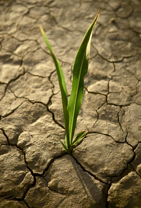 Drought causes severe damage to crops.