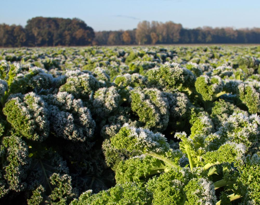 Kale tastes sweeter after it has been frost kissed and is ideally grown during wet and cool seasons.