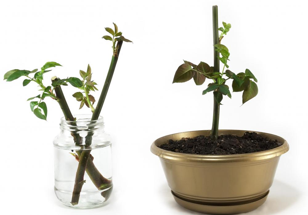 Growth gel can help cuttings take root faster.