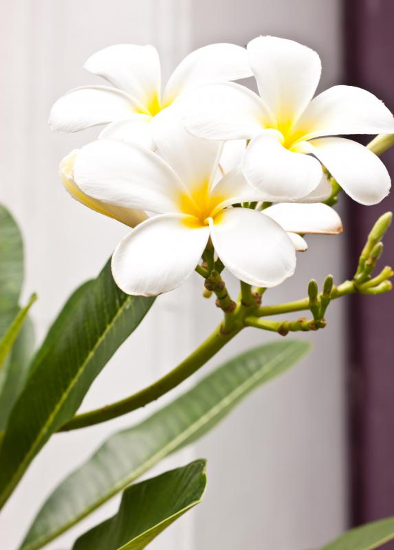 Because of their beauty and versatility, plumeria flowers are often chosen for bouquets.