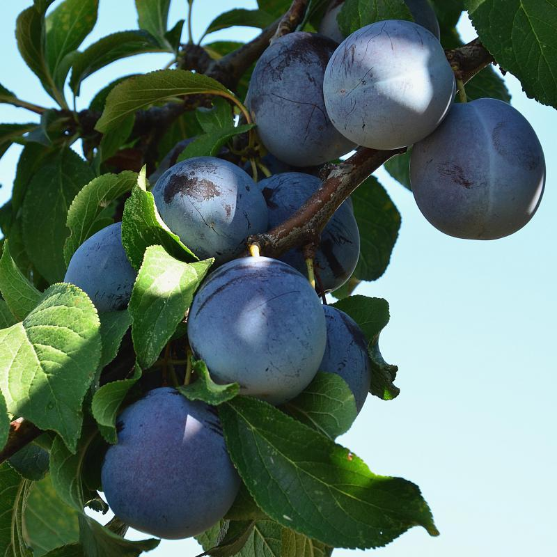 Plum trees are susceptible to a number of diseases.