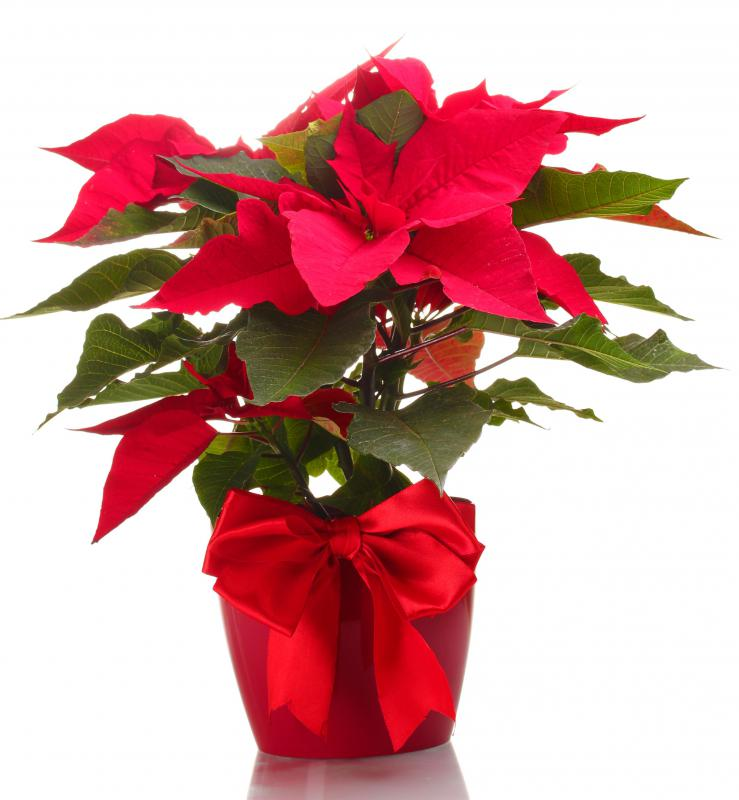 A poinsettia is a popular Christmas flower that can add cheer to an office.