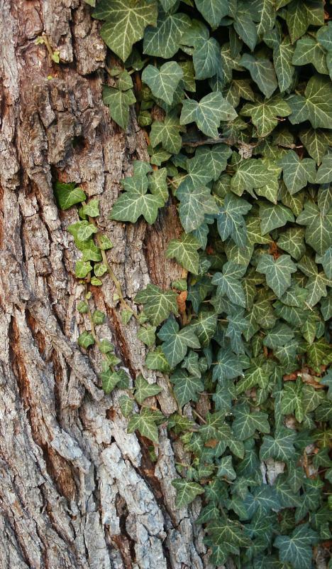 Pediatric dermatologists treat conditions like poison ivy.