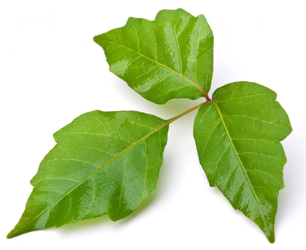 Poison ivy, which causes contact dermatitis.