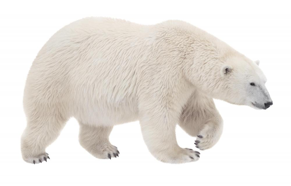 It might be best to let large bears, such as polar bears, attack your car rather than interfering.