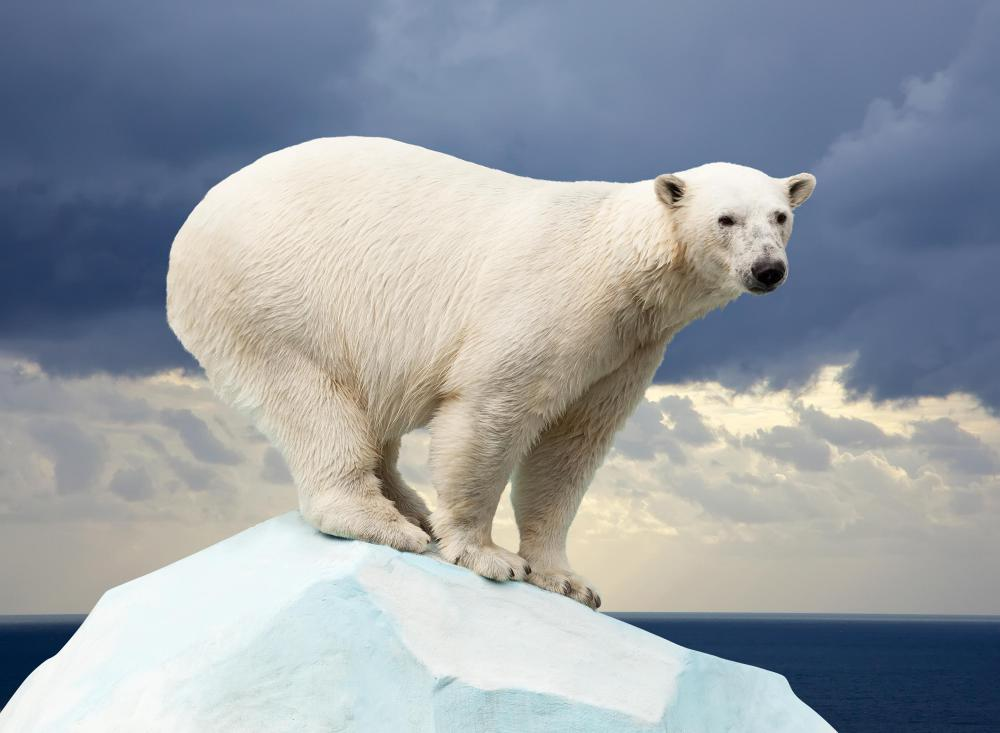 Polar bear populations may have become vulnerable due to what is interpreted as global warming.