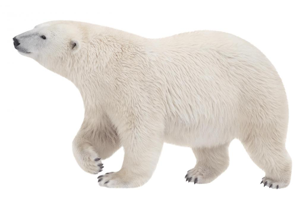 Polar bears are a predator of the ivory gull.