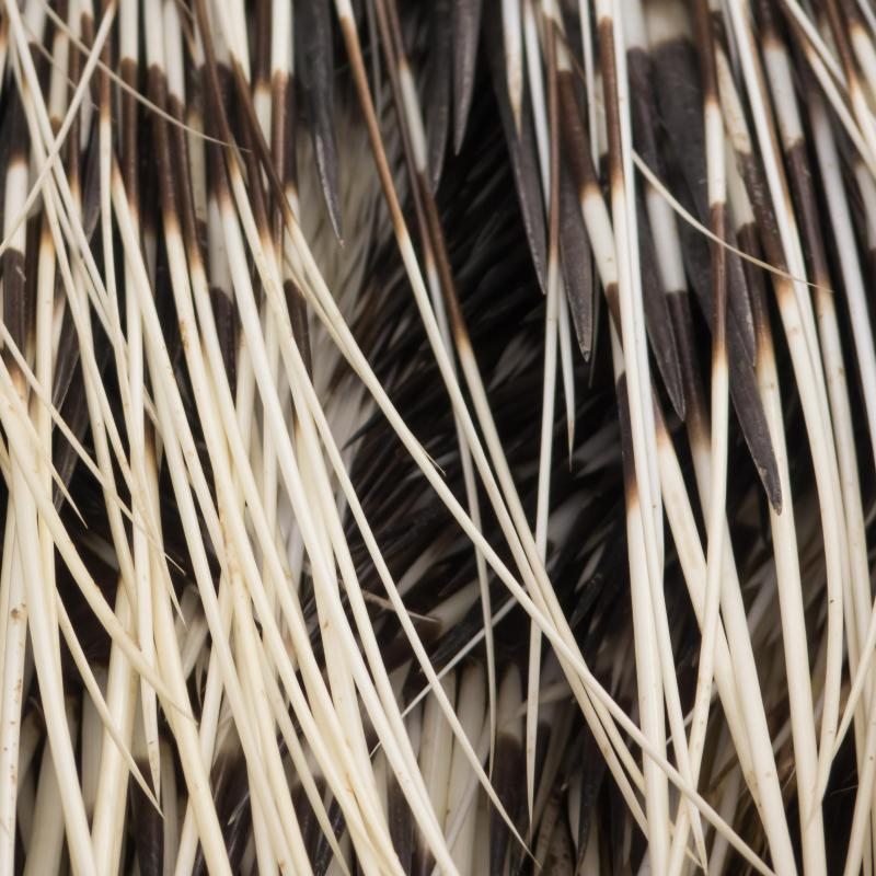 Thousands of years ago, porcupine quills could be used as toothbrushes.
