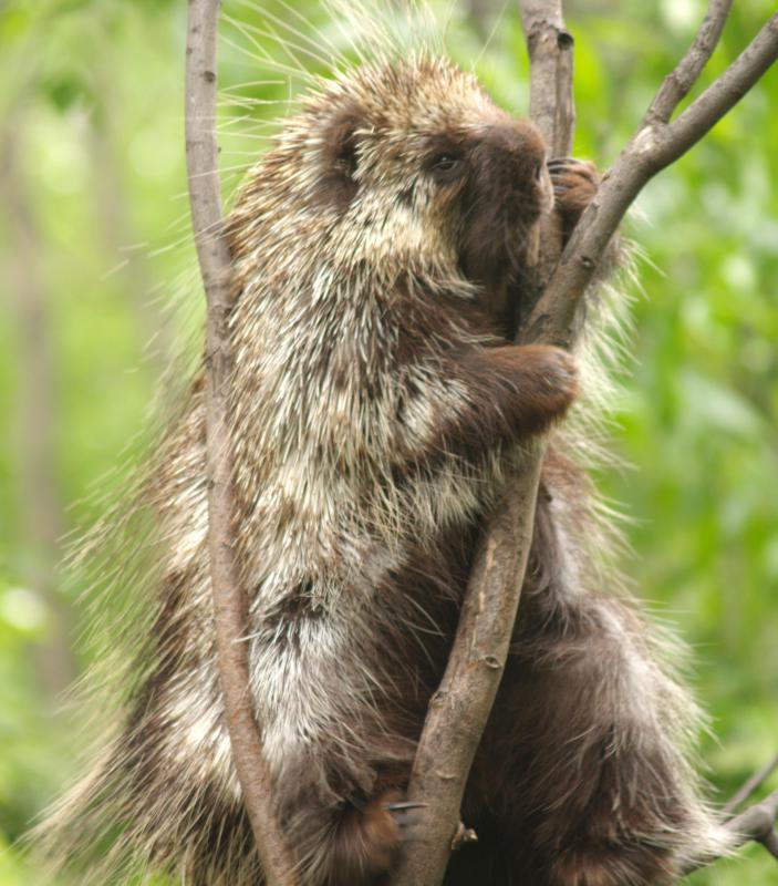 Porcupines were once unique to South America.
