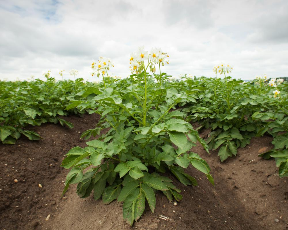 Healthy potato crops.