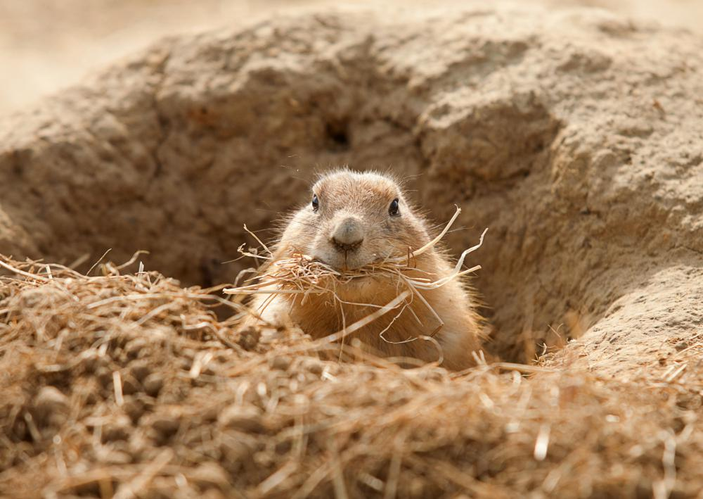 The prairie dog is a common prey for the prairie falcon, as the two animals often share the same habitat.