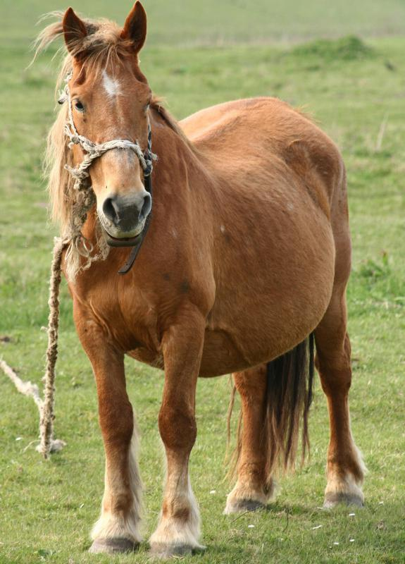 Congenital papillomatosis occurs when a pregnant mare contracts EPV and the foal is infected while in the womb, a condition that's also called baby warts.