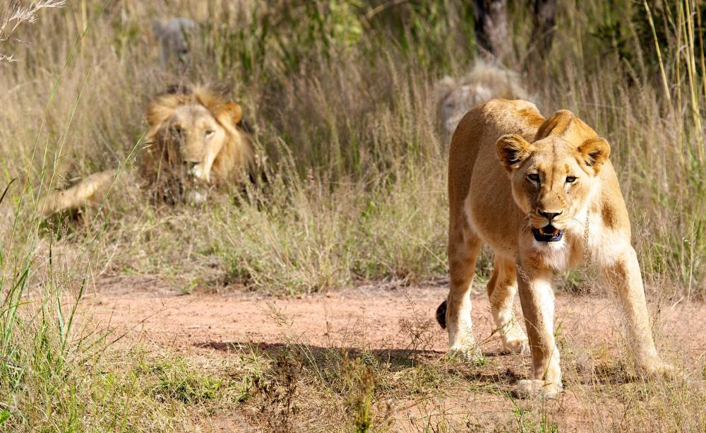 Tourists can visit a lion park located near Dikhololo Game Reserve.