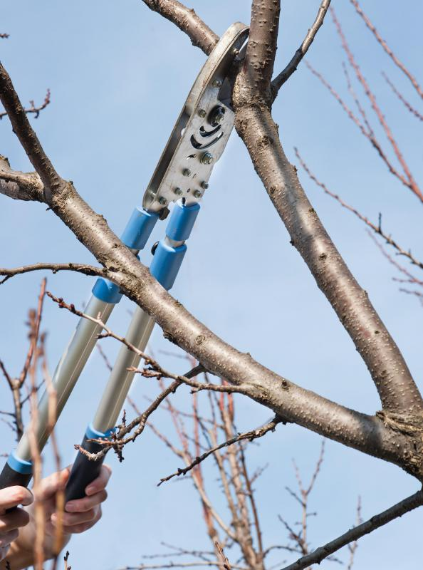 A tree trimmer prunes trees and shrubs for looks, health of the plants and safety.