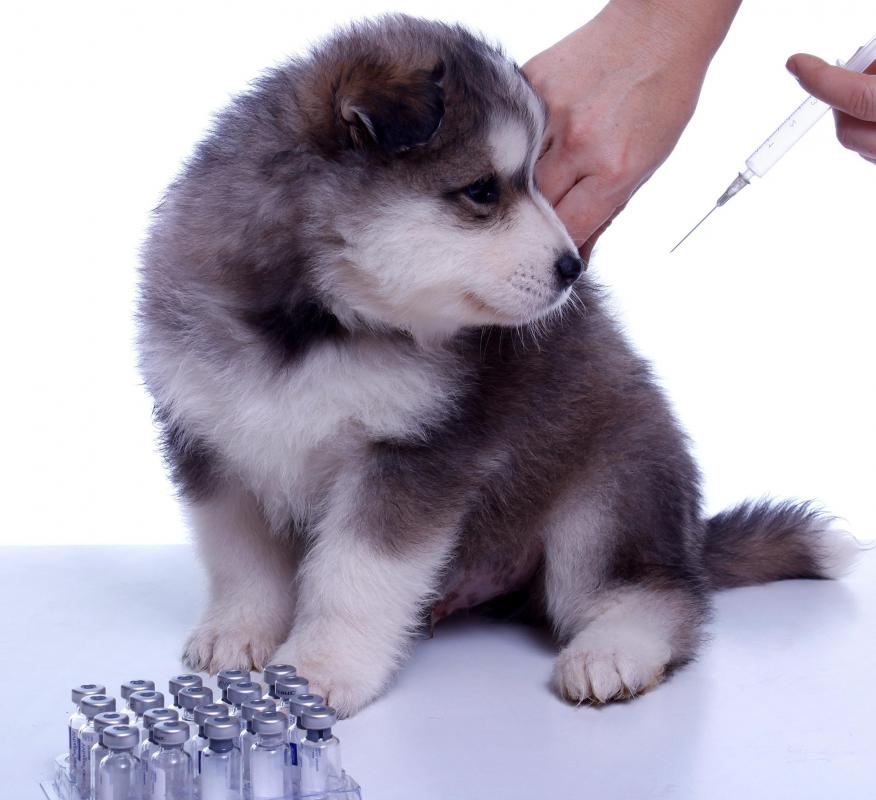 A rabies vaccine is one of a series of recommended puppy vaccinations.