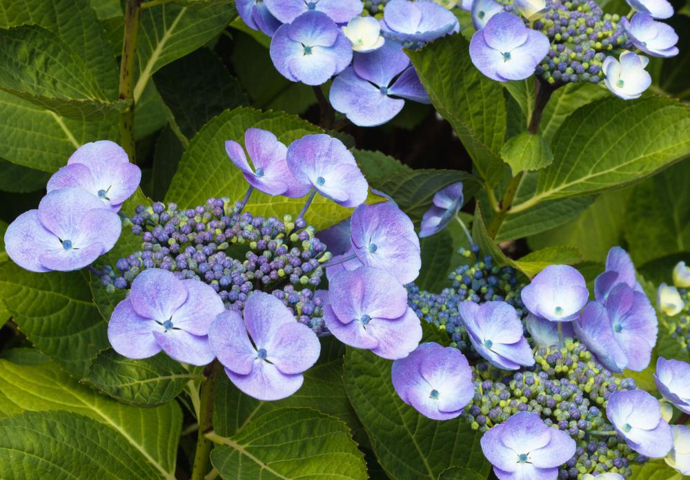 hydrangea blooms must be kept well hydrated after they are cut - When To Trim Hydrangea