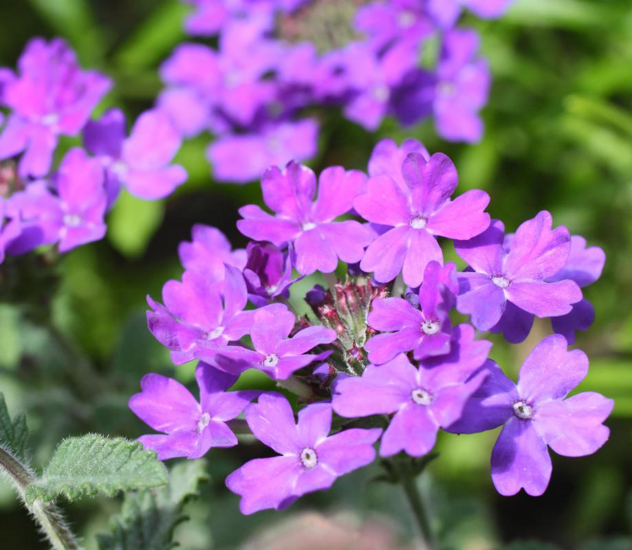 Purple is the most common color of a verbena.