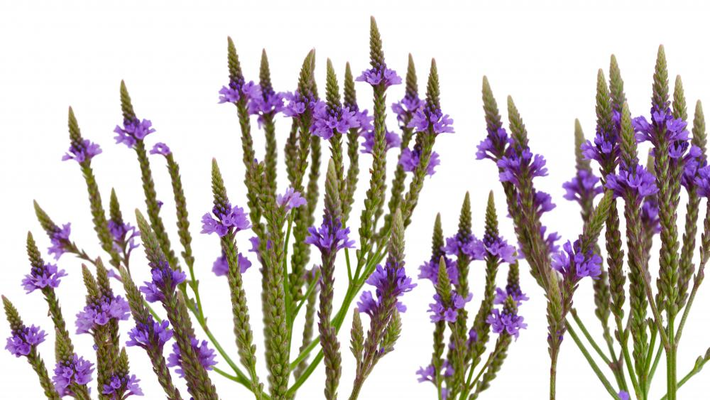 Herbs like vervain can help relieve congestion.