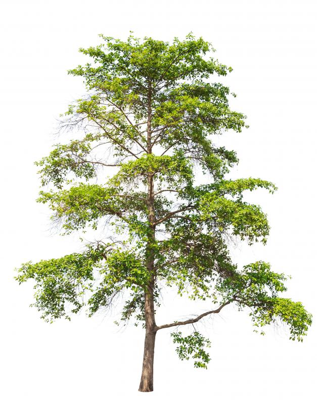 The antimalarial drug quinine is derived from the bark of the cinchona tree.