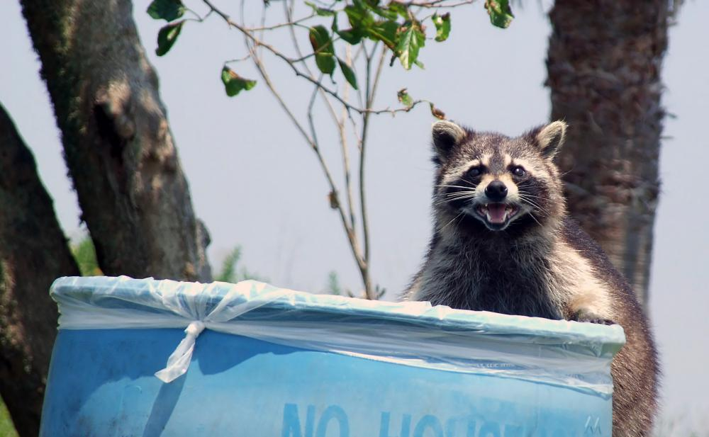 Rat exterminators may also handle other mammals, such as raccoons.