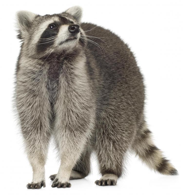 Raccoons may spread rabies.