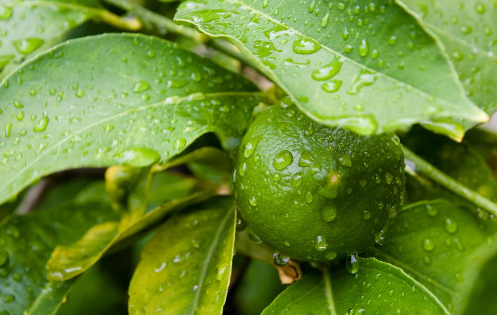Lime trees are very similar to lemon trees, but bear smaller green fruit that are more acidic than lemons.