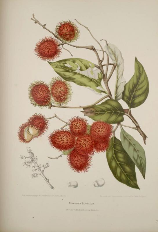Rambutan is a fruit grown primarily in Southeast Asia, and is cousin to the longan and the lychee.
