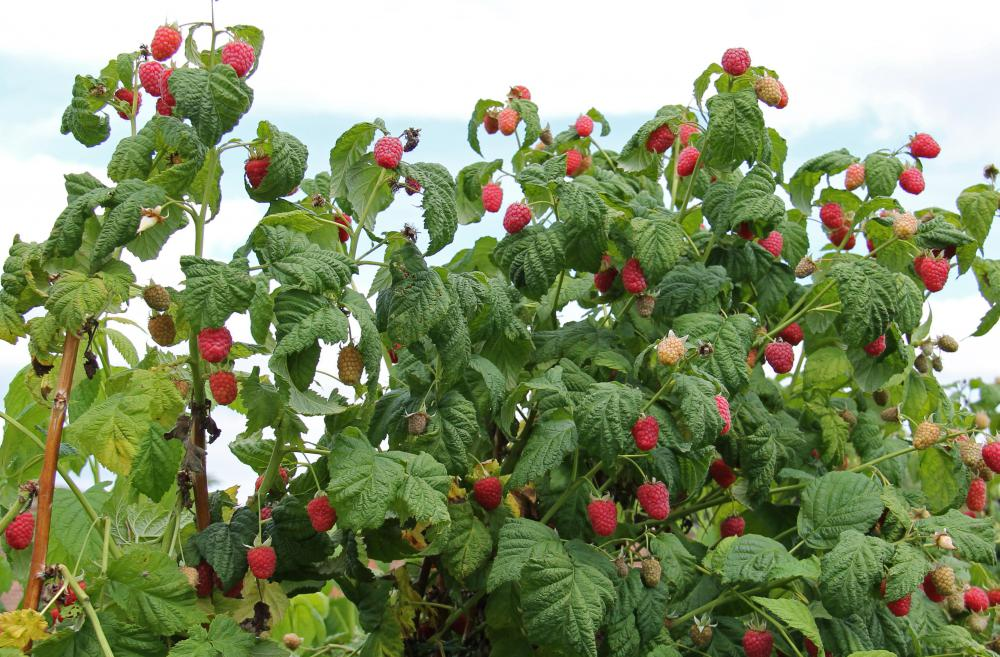 You should know how raspberry plants grow before choosing a raspberry trellis.