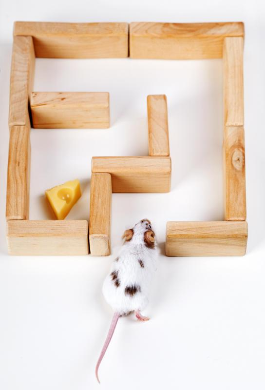 Rats are very smart and can learn how to maneuver through mazes very quickly.