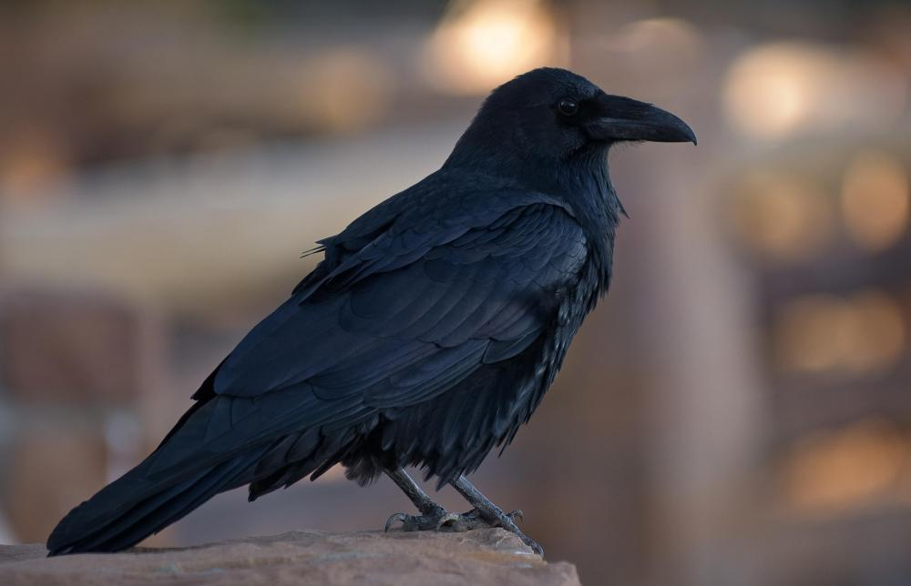 The passing of a raven holds meaning in animal medicine.