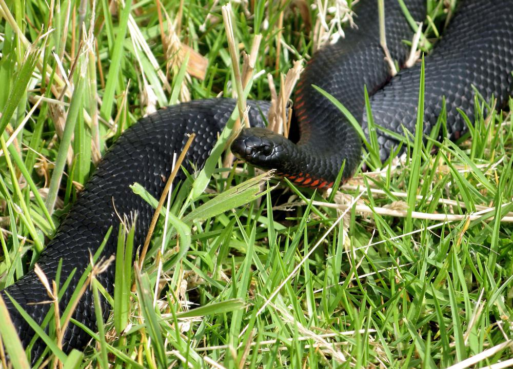 A red-bellied black snake is a venomous snake that may be treated with tiger snake antivenin.