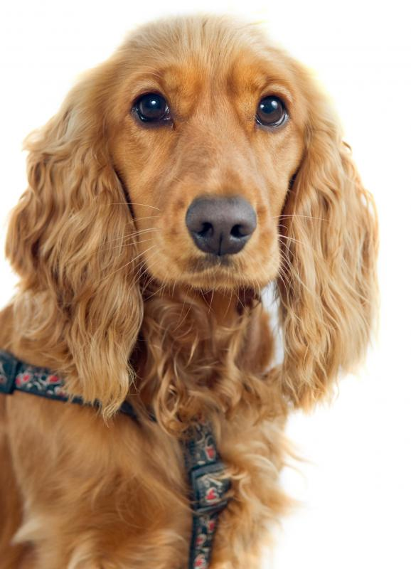 Cocker spaniels are more susceptible to canine pancreatitis than other breeds.