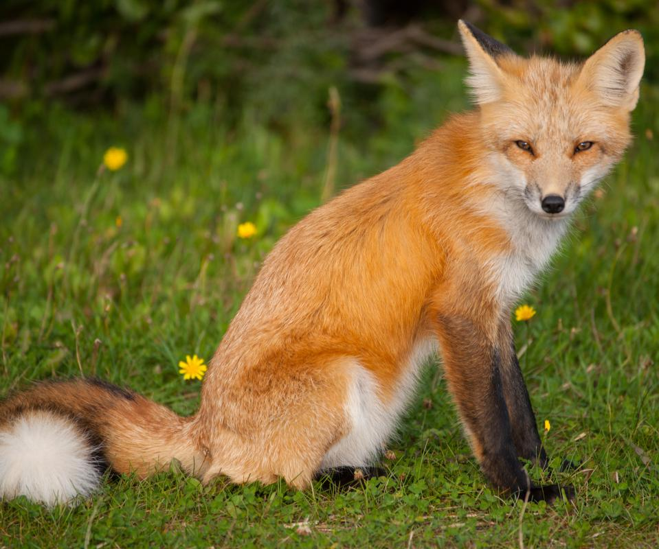 Red foxes are solitary canids.