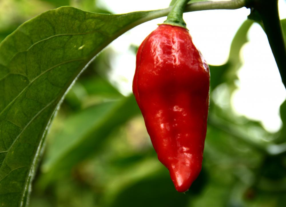 Ghost peppers can burn the skin unless they're handled with gloves.