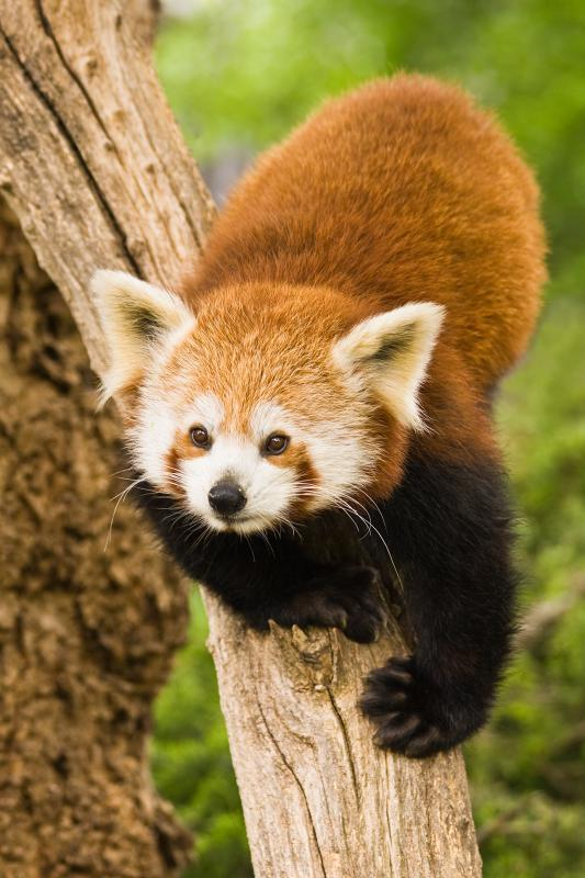 Red panda climbing on a tree.