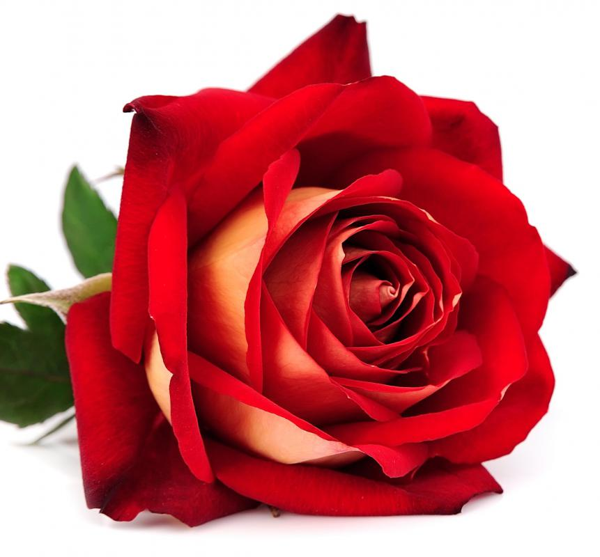 """Love is a rose with thorns"" is a common metaphor for love."