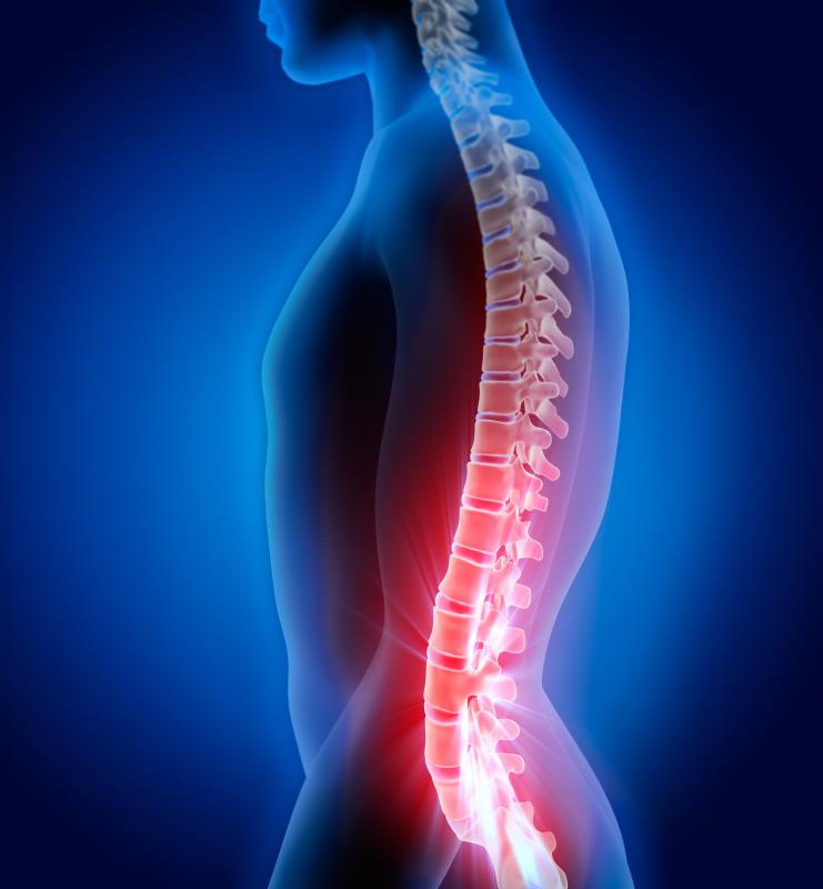 The human spine serves to protect the bundle of nerves known as the spinal cord.