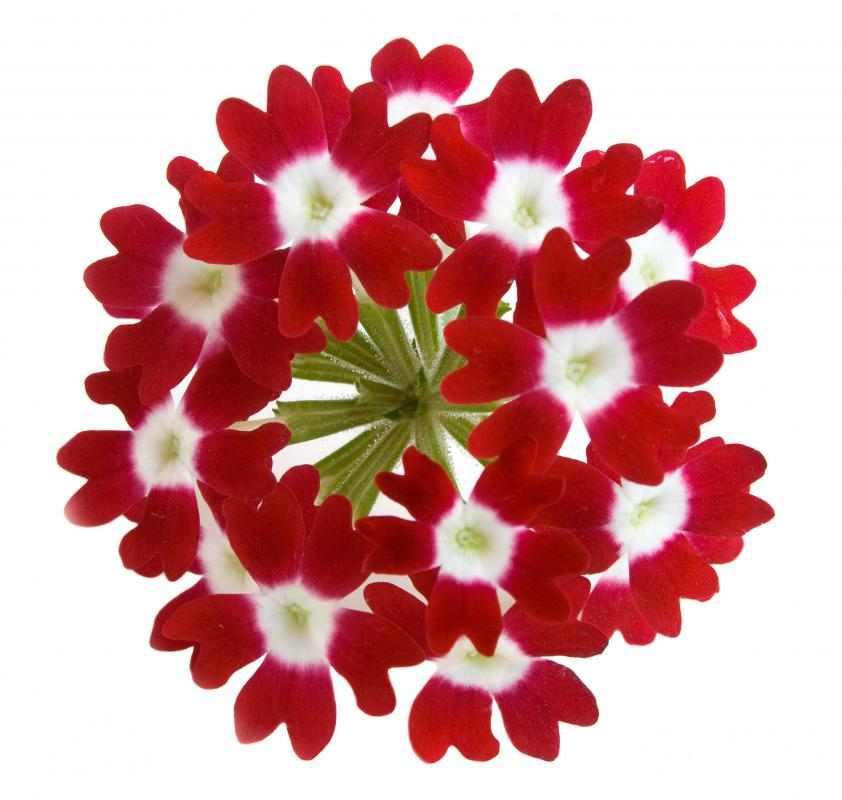 Unusual, red verbena.