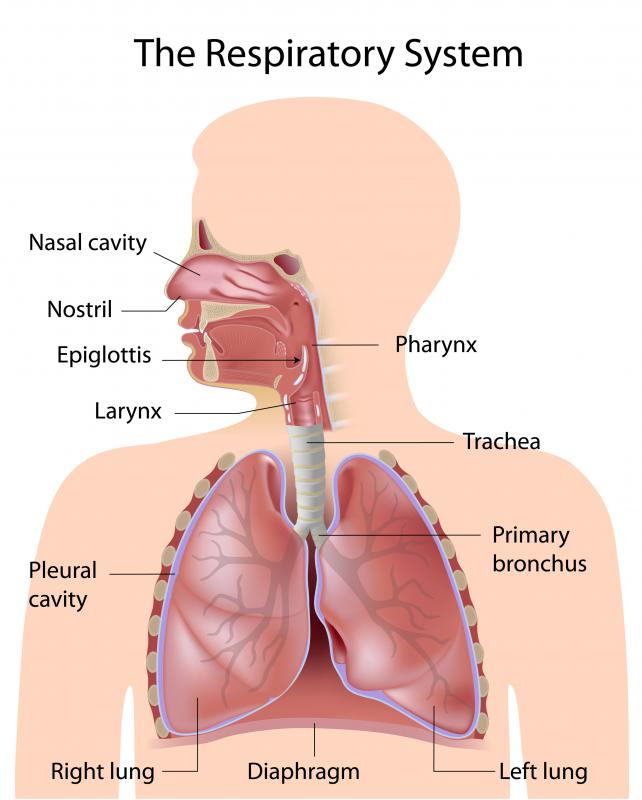 What is a Bronchial Artery? (with pictures)