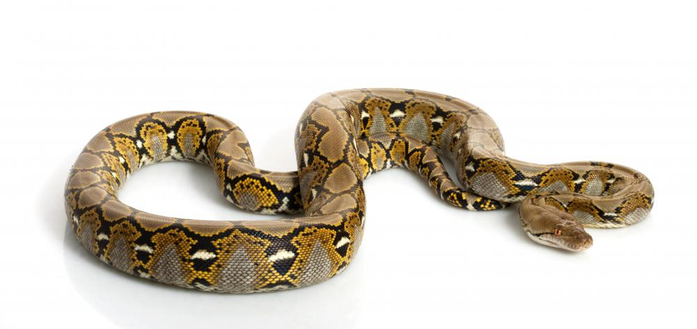 Reticulated pythons are a rainforest species.