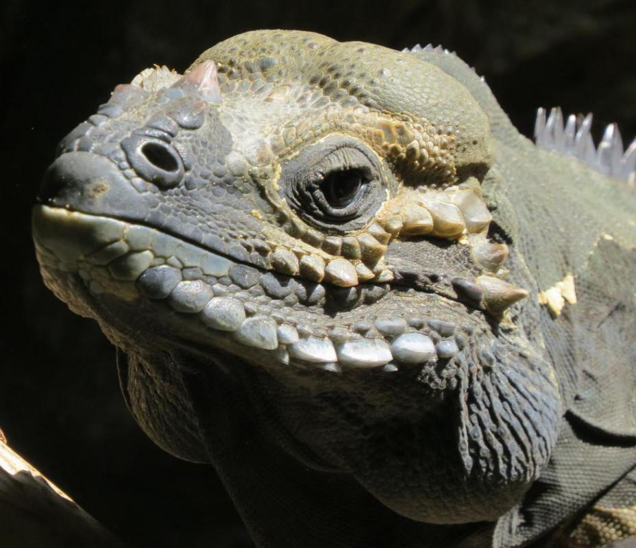 Iguanas have had to adapt to habitat through physical changes.