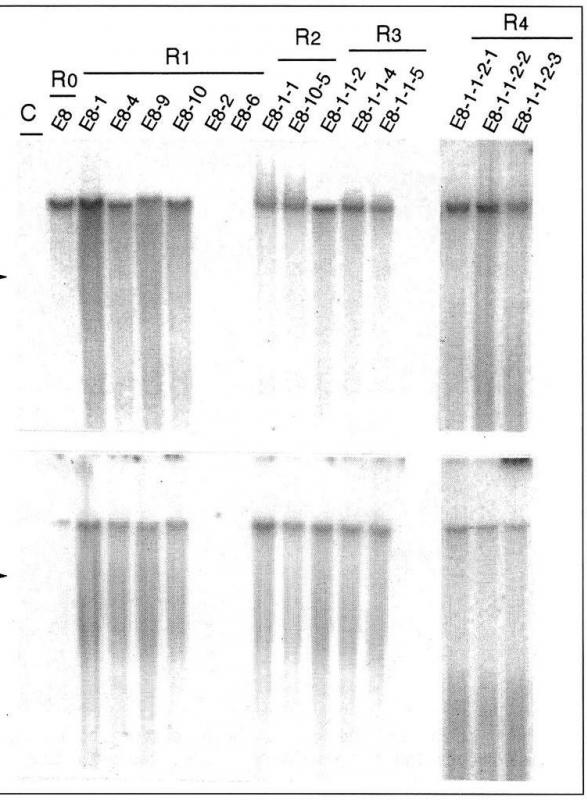 DNA results from an electrophoresis test are often used in forensics.