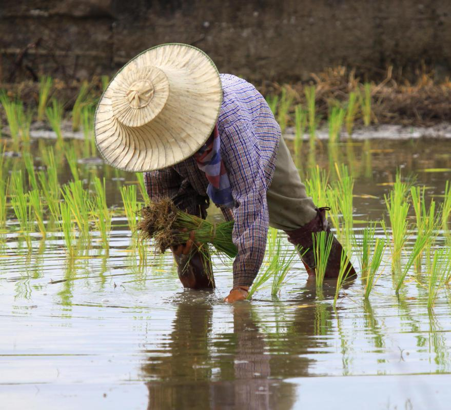 Rice is grown in water logged fields called paddies.