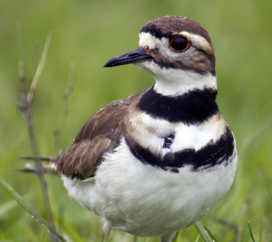Plovers can be found in the Gobi Desert.