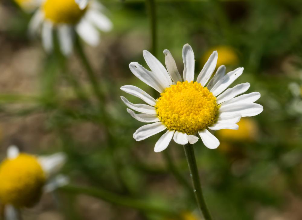 Chamomile extract comes from the chamomile flower.