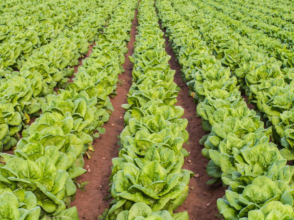 What Is Lamb 39 S Lettuce With Pictures