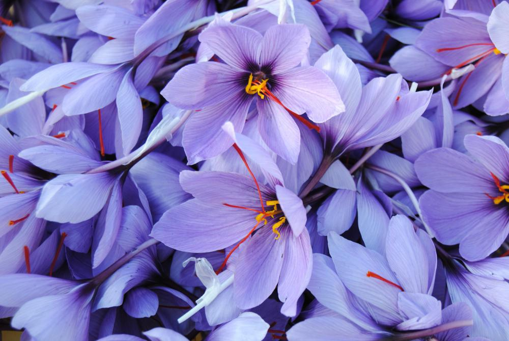 Saffron flowers (more accurately known as saffron crocuses).