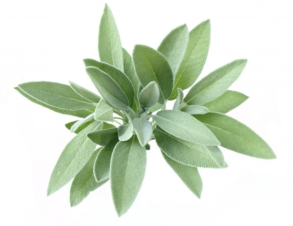 Sage leaves may be used to make saltimbocca.