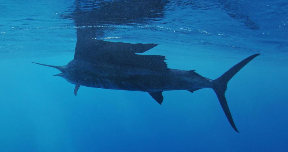 Nothing is faster in the water than a sailfish, which has a top speed of 70 miles per hour.